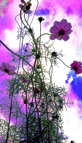 Cotton Candied Cosmos