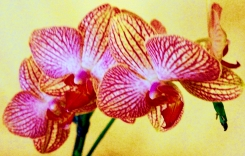 Orchid of my Eye